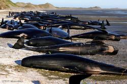 نیوزی لینڈ کے ساحل پر وہیلز کی خودکشی