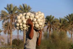 اشک کشاورزان منوجانی بر مزارع پیاز/افت قیمت محصول و عرضه بی رویه
