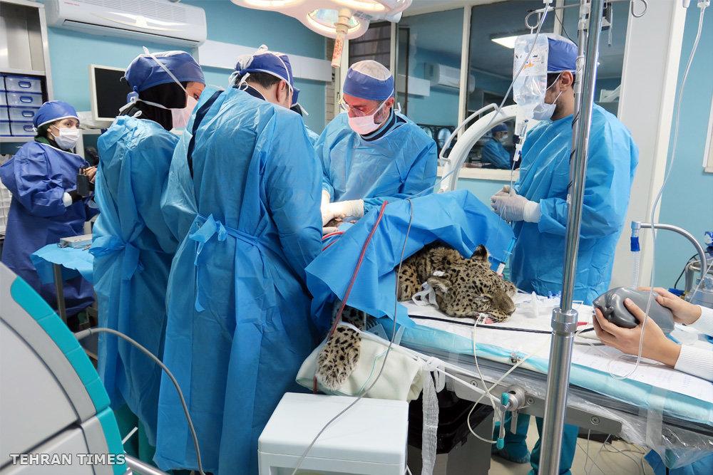 Roudsar Persian leopard in torment