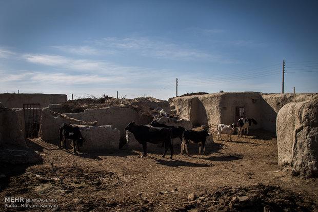 اندک دامهای باقی مانده پس از خشکسالی