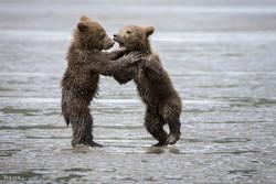 بازی خرس مادر با توله هایش