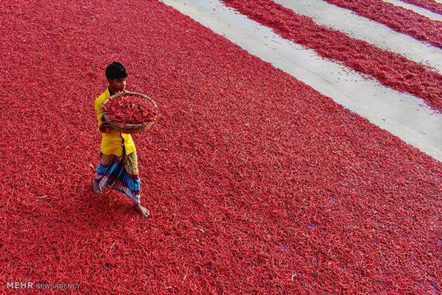 تولید فلفل قرمز در بنگلادش