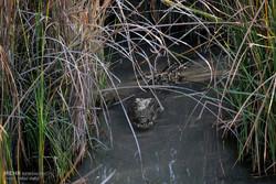  مشاهده و زنده گیری یک سر تمساح نابالغ در جنوب سیستان وبلوچستان