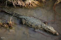 یک سر تمساح سرگردان در روستای «دمپک» از توابع چابهار زندهگیری شد