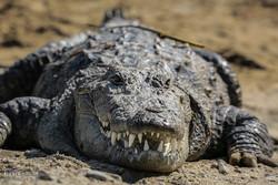 «گاندو» در خطر انقراض/ خشکسالی بلوچستان مهمترین تهدید محیط زیست