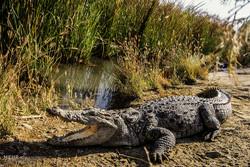 ۱۵ سرتمساح بزرگ داخل حوضچه آرامش سد «پیشین» گرفتار شدند