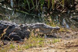 مشاهده چند سرتمساح در آبنمای شهر «پیشین» در جنوب سیستان وبلوچستان
