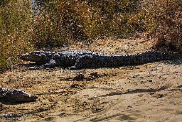 تمساح سرگردان در «راسک» به زیستگاه طبیعی اش بازگشت