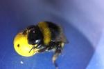 زنبورهای عسل فوتبال بازی می کنند!