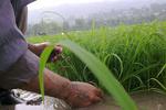 پیش بینی تولید دو میلیون تن برنج در سال۹۶/افزایش سطح زیرکشت در استانهای غیرشمالی
