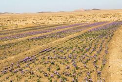کاشت زعفران به کشاورزان در بوکان آموزش داده می شود