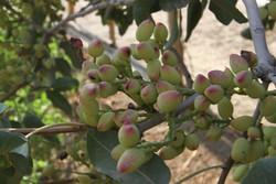 توسعه باغات پسته در استان ایلام