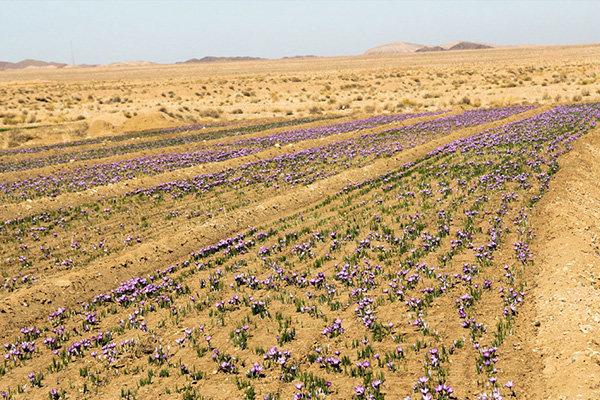 واردات زعفران صحت ندارد