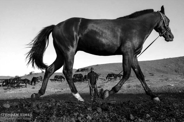 The art of Turkmen horse breeding