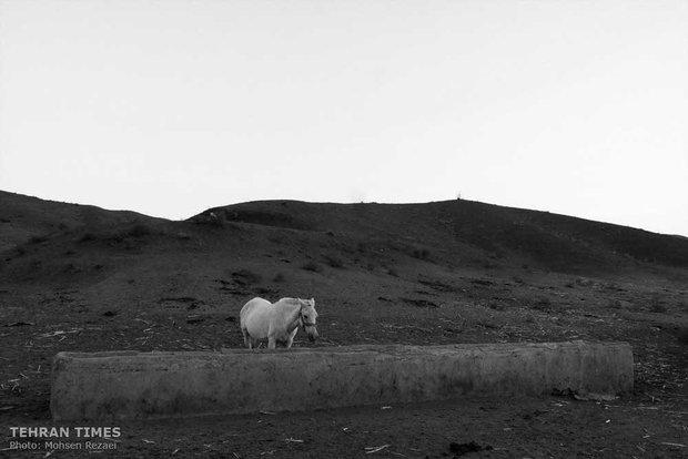 The art of Turkmen horse breeding