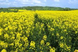 پیش بینی برداشت ۵۵۰۰تن کلزا طی سال زراعی جاری در استان مرکزی