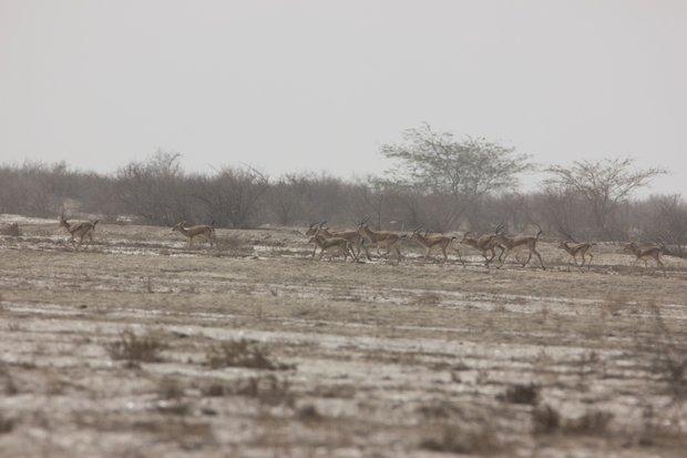 جمعیت آهوان منطقه حفاظتشده مند ۳۵ درصد افزایش یافت