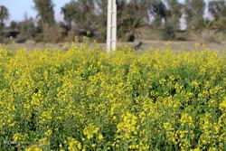 رشد ۳.۵ برابری سطح زیرکشت کلزا در استان کرمانشاه
