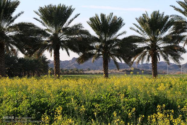 İran'da kanola tarımı