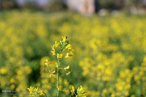 مزارع كلزا در هشت بندی هرمزگان