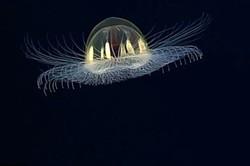 فیلم/ عروس دریایی کهکشانی در قعر اقیانوس آرام