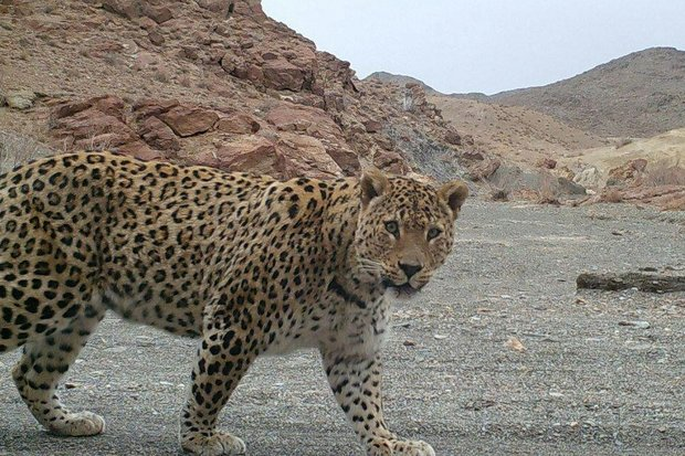 Asiatic cheetah spotted in Khartouran wildlife refuge