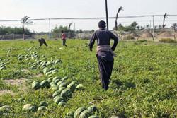 کشت هندوانه در همدان و تلاشی دو سر زیان/محصولی که خریدار ندارد