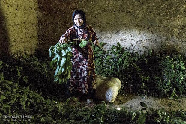 Kobra, 57, is feeding silkworms.