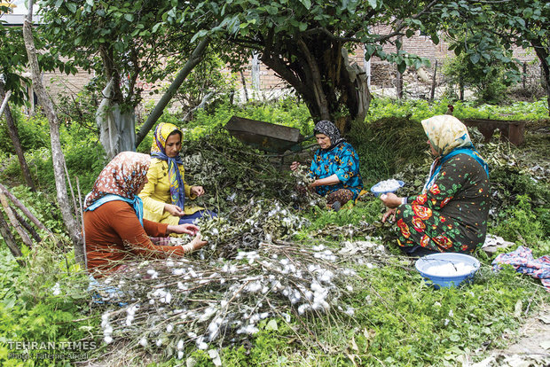 A group of women are picking cocoons from tree branches.