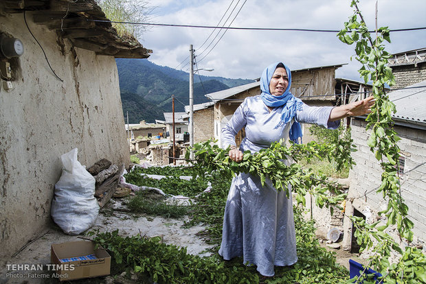 Fatemeh is rearranging the tree leaves wet with the rain on the rooftop to dry.