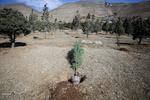۵۰۰نهال سرو در بلوار سی متری پاسداران شهر یاسوج غرس می شود