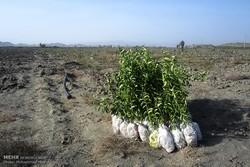 تولید بالغ بریک میلیون اصل نهال در نهالستان های مریوان