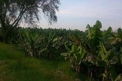 یخبندان بیش از ۲۵۰۰ میلیارد ریال به کشاورزان کنارک خسارت زد