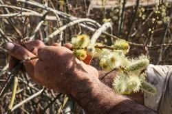 هوای بهاری آذربایجان غربی عطرآگین شد/برداشت سالانه ۵۶تن بیدمشک