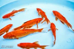 ماهی قرمز همدان