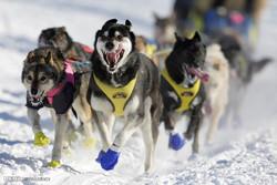 آلاسکا میں سلیج کتوں کی دوڑ کا مقابلہ