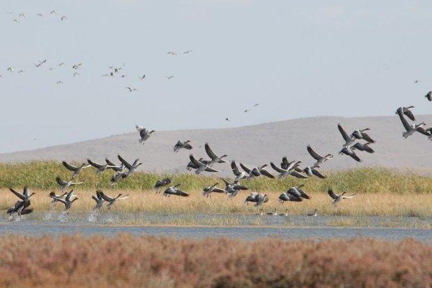 شکار پرندگان مهاجر در فریدونکنار نگران کننده است,