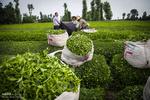اتمام چین دوم برگ سبز چای/ میزان تولید کاهش یافت