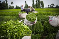 ممنوعیت صادرات چای تجدید نظر شود