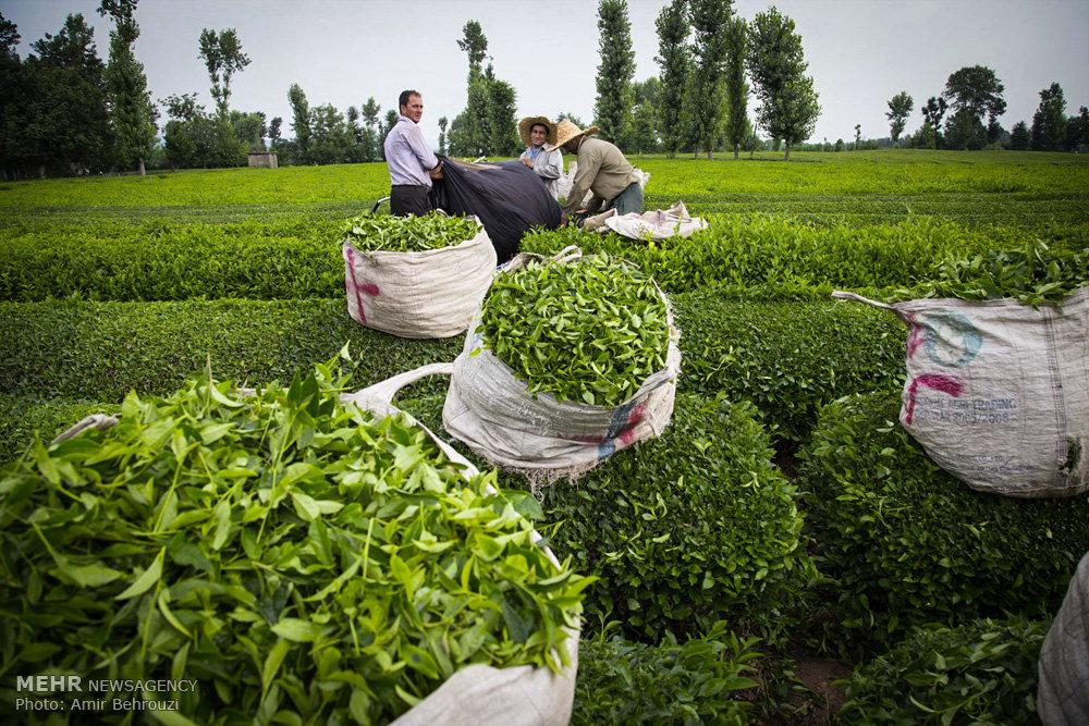 آغازپرداخت 30 میلیاردتومان وام به چایکاران80درصدمطالبات تسویه شد ...