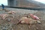۷۰ رأس گوسفند دام عشایر اسفراین در حادثه برخورد با قطار تلف شدند