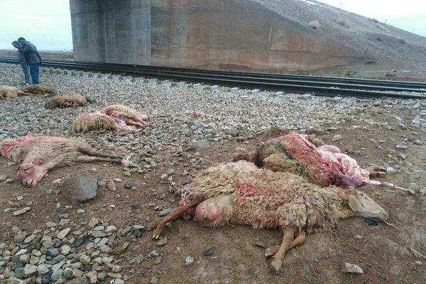 ۷۰ راس گوسفند در کویرات آران و بیدگل کشته شدند