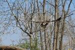 ۴ پرنده شکاری در منطقه جنگلی سراوان رشت رهاسازی شدند