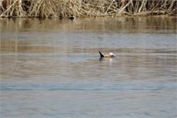 ۵۰ بال اردک سرسفید در تالاب کانی برازان مهاباد مشاهده شد