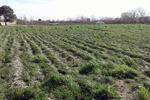 ۴۰ هکتار راضی کشاورزی رفسنجان زیر کشت زعفران است