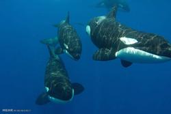 جدال نهنگ های عنبر با گاوماهی ها