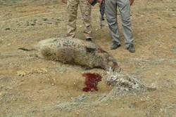 تصادف خودرو با گراز؛ جاده بازهم از حیاتوحش قربانی گرفت