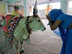 گائے ہندوستان