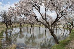 شکوفه های بهاری در قزوین
