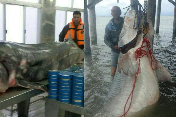 صید ماهی خاویاری ۶۰۰ کیلویی در دریای خزر
